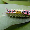 Four Spotted Cup Moth Caterpillar