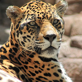 The Jaguar's Glance by Rebekah Doar - Animals Lions, Tigers & Big Cats ( big cat, jaguar, spots, tan, eyes )