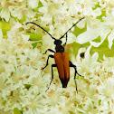 Longhorn beetle (male)