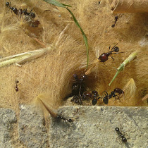 Hyménoptères : Abeilles, Guêpes, Bourdons, Frelons, Fourmis de France