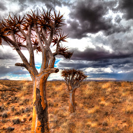 Quiver Tree by Andre Bez - Landscapes Cloud Formations ( clouds, quiver tree, weather, trees, namibia )