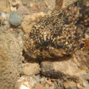 Black Sculpin