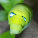 Oleander hawk moth caterpillar