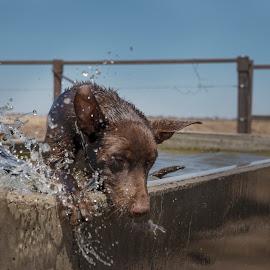 Splash by Suzanne McCowen - Animals - Dogs Puppies ( # splash, #kelpie, #working dogs, #busy, #water,  )