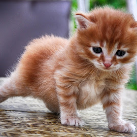 Cute kitten by Maja  Marjanovic - Animals - Cats Kittens ( kitten, cat, pat, fluffy, animal )