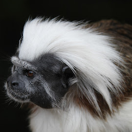 Cotton Top Tamarin by Ralph Harvey - Animals Other Mammals ( wildlife, ralph harvey, monkey, marwell zoo, animal )