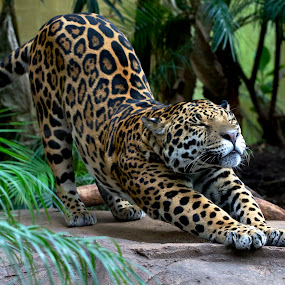 stretching jaguar by Dave Hudson - Animals Lions, Tigers & Big Cats (  )