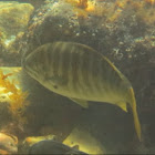 Zebra Perch