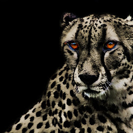 Eyes of the Cheetah by John Larson - Digital Art Animals ( selective color, pwc )