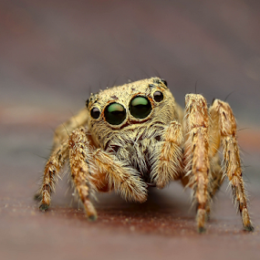 Dancing Spider by Dave Lerio - Animals Insects & Spiders ( salticidae, jumping spider, phidippus, habronittus,  )