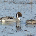 Northern Pintail Ducks (pair feeding)