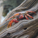 Sally Lightfoot Crab,   Red Rock Crab