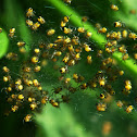 Baby spiderlings, European Garden Spider