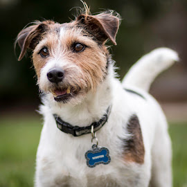 Throw It Already by Shawn Klawitter - Animals - Dogs Portraits ( jack russell terrier, pet, outdoors, dog, animal )