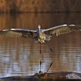 by Amedeo Altomare - Animals Birds ( bird, fly, flight )