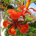 鳳凰木 ( Flame of the Forest, Royal Poinciana )