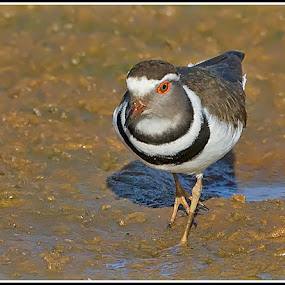 Threebanded Plover by Jan Fourie - Animals Birds