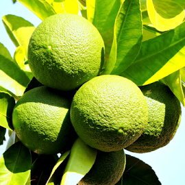 Green oranges by Yusop Sulaiman - Nature Up Close Gardens & Produce