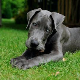 My Blue by Kim Stockley - Animals - Dogs Portraits (  )