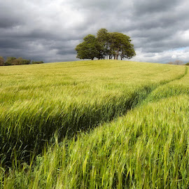 Amongst the fields of Barley by John Horner - Landscapes Prairies, Meadows & Fields ( path, nature, landscape )