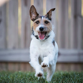 AHHHHHHHHHHHH by Shawn Klawitter - Animals - Dogs Running ( animals, dogs, jack russell terrier, running outdoors, pets )