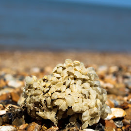 Seaweed by Phil Newman - Novices Only Objects & Still Life ( uk, sunny, seaweed, pebbles, beach, close up )