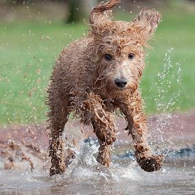 Go Sam  by Michael  M Sweeney - Animals - Dogs Running ( water drops, splash, labradoodle, joy, play, fun, michael m sweeney, cute, run, running, puppy portrait, d3, joyfull, action, puppy, dog, natural )