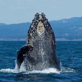 Humpback Whale breaching by Wade Tregaskis - Animals Sea Creatures ( humpback, breach, barnacles, breaching, wave, waving, fin, whale )