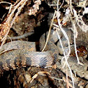 Brown Watersnake