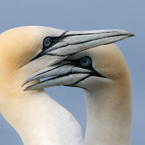 Don't Push It by Harry Eggens - Animals Birds ( #bird #great britain #morus bassanus #northern gannet #animal #bass rock #beak #birds #eyes #feather #feathers #firth of forth #gannet #gannets #image #nature #plumage #scotland #united kingdom #wild #wildlife )