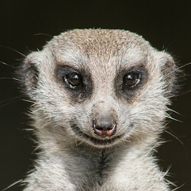 Smiling meerkat by Howard Ferrier - Animals Other Mammals ( melbourne zoo, meerkat, smile, portrait, eyes )