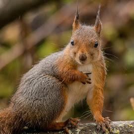 Squirrel by Rita Birkeland - Animals Other ( ekorn, wildlife, wet, nikon, cute, squirrel, norway,  )