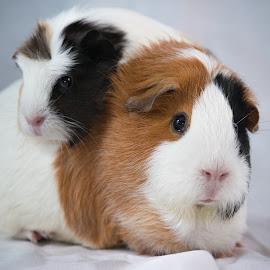 Mango & Coco by Wayne Giles - Animals Other Mammals ( animals, friends, best friends, partners, pets, cute, portrait, guinea pigs,  )