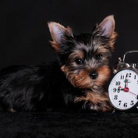 Born 9 weeks ago by Martin Ženíšek - Animals - Dogs Puppies ( alarm clock, color, puppy, jorkshire terier, dog, black,  )