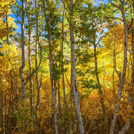 Forest Ablaze by Mark Cote - Landscapes Forests ( june lake loop, fall colors, silver lake, forest, sierra nevada mountains, fall, color, colorful, nature,  )