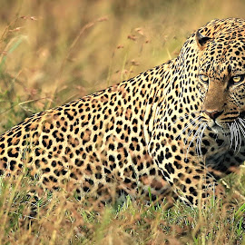 by Sudhir Nambiar - Animals Lions, Tigers & Big Cats (  )