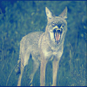 Coyote Sound Effects icon