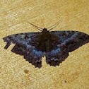 Black Witch Moth (female)