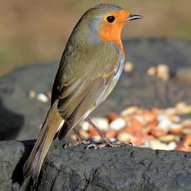 Robin in morning sun by John Davies - Animals Birds ( wwt llanelli, robin, john davies, robin red breast, tamron 150-600, canon eos60d )
