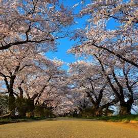 tenshochi sakura by Bayoue Zantoso - Nature Up Close Trees & Bushes