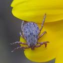 Pacific Coast Tick (male)