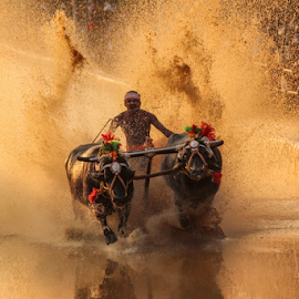 In Action by Prithiviraj Kiridarane - News & Events Entertainment ( kambala, buffallo, race, karnataka )