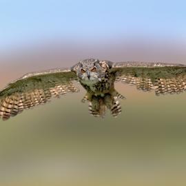 Silent Wing by Michael Milfeit - Animals Birds ( bird of prey, uhu, eule, raubvogel, owl, bubo bubo, silent wing, eagle owl )