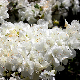 White Azalea by Christie Henderson - Novices Only Flowers & Plants ( white azalea )