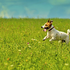 by Josef Slemar - Animals - Dogs Running ( jack russell, jack russell terrier, jrt,  )
