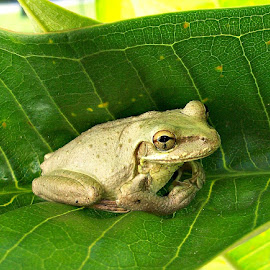 Light Frog in Plumeria  by Cindy Brown - Animals Amphibians (  )