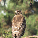 Sharp-shinned Hawk (juvenile)