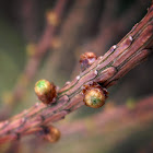 Larch shoots