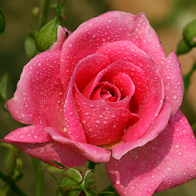 by Bharat Dudeja - Flowers Single Flower ( rose, macro, pink, beauty, flower, droplets )
