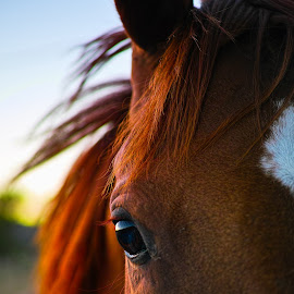 Eye see you! by Scott Zinda - Animals Horses ( sunset, horse, brown, hair, eye )